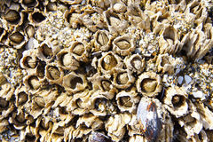 Mussels and barnacle Stock Photo