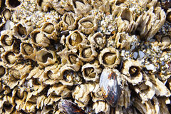 Mussels and barnacle Stock Photos