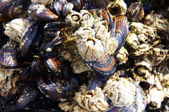 Mussels and barnacle Stock Images