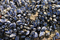 Mussels on Beach Royalty Free Stock Images