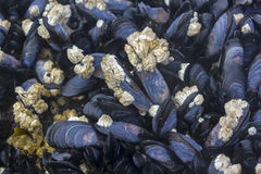 Mussels bed. Stock Photo