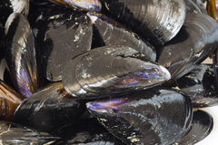 Mussels closeup Stock Images