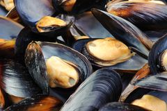 Mussels. Closeup of big group steamed fresh mussels Stock Photos