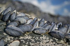 MUSSELS CONSTANTINE BAY Stock Image