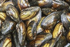 Mussels dark fresh live inedible summer lakes stock photos