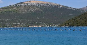 Mussels farm in Croatia, hills in the backround. Mussels farming is popular business in area of Ston in Croatia and Neum, Bosnia and Herzegovina. Unpolluted Stock Photography