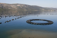 Mussels farming. In Croatia famous for its delicious seafood Stock Photo