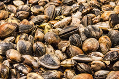 Mussels on fish market. Fresh sea food. Seafood Stock Images