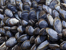 Mussels. Group of mussels on a rock at low tide stock photography