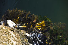 Mussels growing at the docks Royalty Free Stock Photos