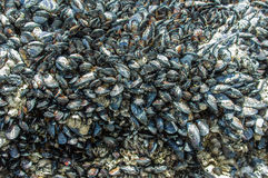 Mussels growing on tide pool rocks Royalty Free Stock Photos
