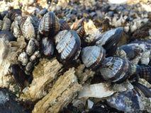 Mussels i pąkle Fotografia Stock