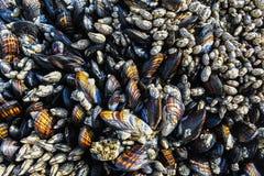Mussels i pąkli tekstura obraz royalty free