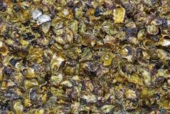 Mussels i Skały   Zdjęcia Stock
