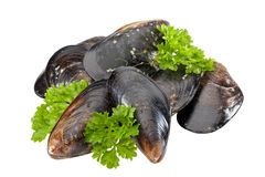 Mussels isolated Stock Photography