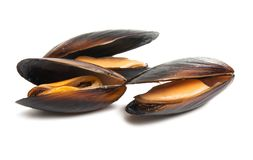 Mussels isolated. On white background royalty free stock image