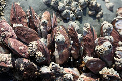 Mussels and limpets Royalty Free Stock Image