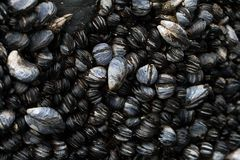 Pacific Coast Mussels in a Tide Pool. These are mussels located on a rock in a tide pool along the Oregon Coast Stock Image