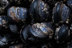 Pacific Coast Mussels in a Tide Pool royalty free stock image
