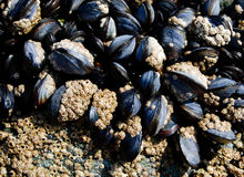 Mussels On Rocks Royalty Free Stock Image