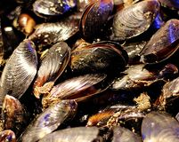 A bed of freshwater mussels royalty free stock image