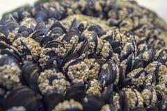 Mussels przy plażą zdjęcia stock