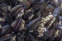Mussels przy plażą zdjęcie stock