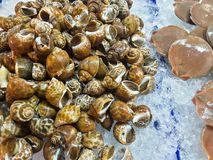 Mussels raw seafood in market Stock Images