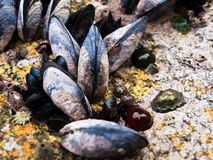 Mussels on rock. Mussels anemones and algae on rock Stock Photo