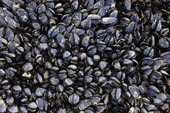Mussels on seashore Royalty Free Stock Photo