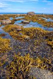 Mussels and seaweeds. Mussels and brown algae discovered in low tide on the White sea shore royalty free stock images