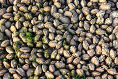 Mussels shell Stock Photos