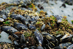 Mussels on shore Royalty Free Stock Photo