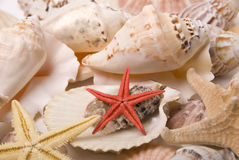Mussels and starfishes. Various mussels ans three starfishes Royalty Free Stock Image
