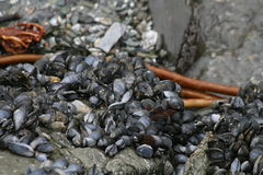 Mussels. On stony beach wall Stock Photography