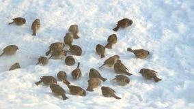 Mussen die korrel op de sneeuw pikken stock videobeelden