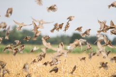 Mussen die over graangewassen vliegen stock fotografie