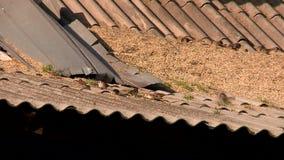 Mussen en duiven die korrel pikken stock video