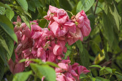 Mussenda plants and flowers Royalty Free Stock Photos