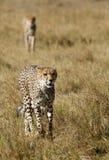 Mussiara猎豹和崽观察牺牲者 库存图片