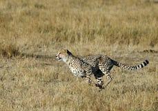 Mussiara, das sprintet, um ein Gnu zu jagen lizenzfreies stockfoto