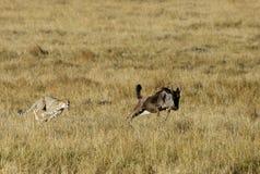 Mussiara som sprintar för att jaga en gnu Royaltyfria Foton