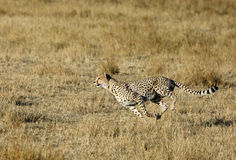 Mussiara sprinting to hunt Royalty Free Stock Photo