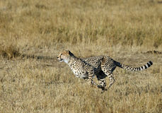 Mussiara sprinting to hunt a wildebeest royalty free stock photo