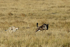 Mussiara sprinting to hunt a wildebeest Royalty Free Stock Photos