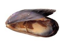 mussla Royaltyfri Fotografi