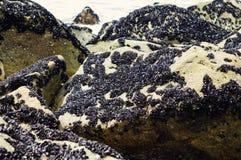 Musslakolonin i naturliga Parque gör Litoral på norden av Portugal Arkivfoto