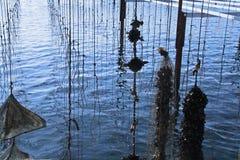 Musslalantgård i Frankrike Arkivbilder