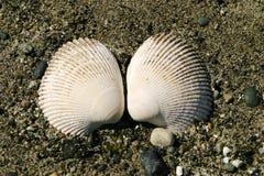 musslan shells två Arkivfoton