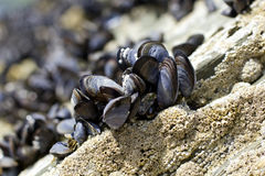 Mussles Stock Image